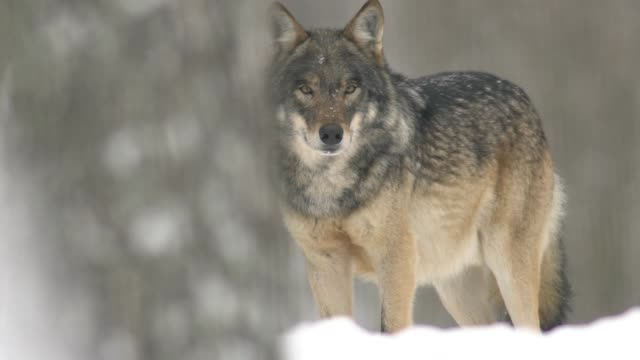 wolf and winter - group of animals stock videos & royalty-free footage