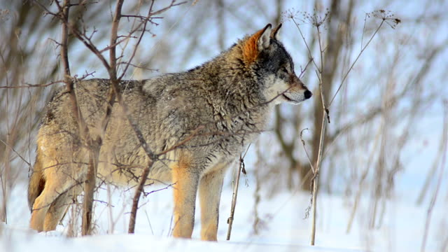 wolf und winter - animal hair stock-videos und b-roll-filmmaterial