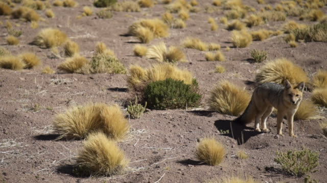 wolf - atacama desert - south america stock videos & royalty-free footage