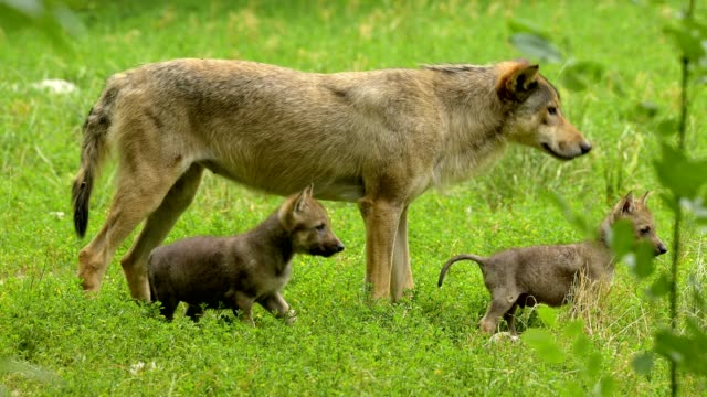 wolf, canis lupus, adult with two young - young animal video stock e b–roll