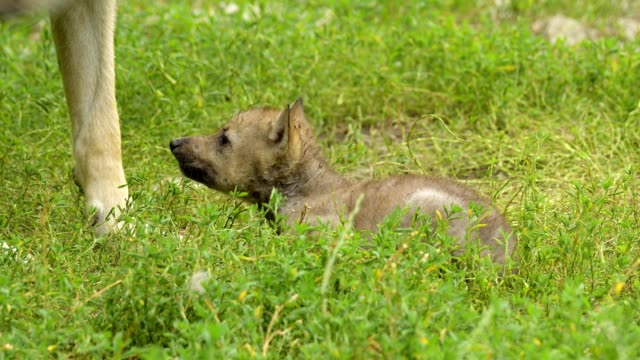 wolf, canis lupus, adult with young - raubtierjunges stock-videos und b-roll-filmmaterial