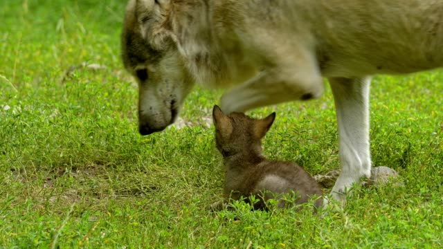 wolf, canis lupus, adult with young - cub stock videos & royalty-free footage