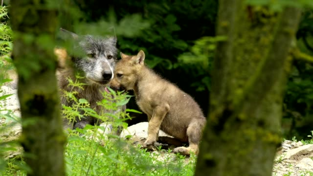wolf, canis lupus, adult with young - young animal video stock e b–roll