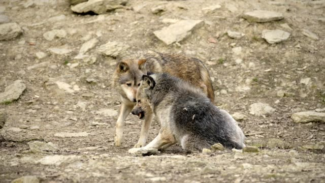 wolf, canis lupus, at mating season - europe stock videos & royalty-free footage