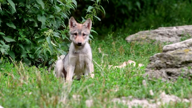 wolf, canis lupus, cub - 動物の子供点の映像素材/bロール