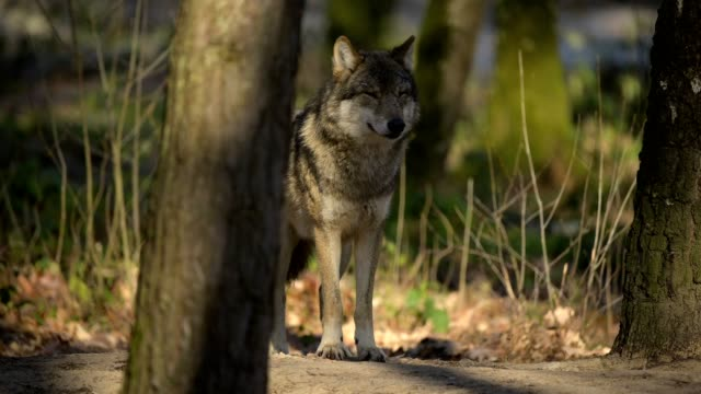 wolf, canis lupus, in forest - wolf stock videos & royalty-free footage