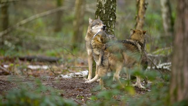 wolf, canis lupus, in forest - small group of animals stock videos & royalty-free footage