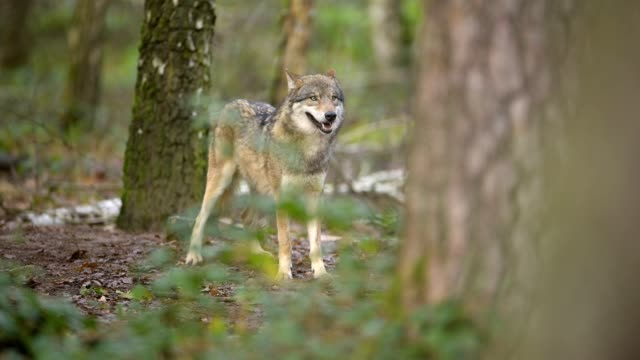 wolf, canis lupus, in forest - one animal stock videos & royalty-free footage