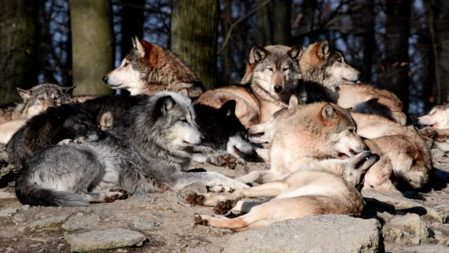 Wolf, Canis lupus, in winter pack of wolves lying in the sun