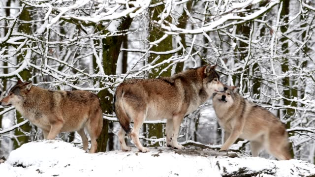 wolf, canis lupus, in winter - tiergruppe stock-videos und b-roll-filmmaterial