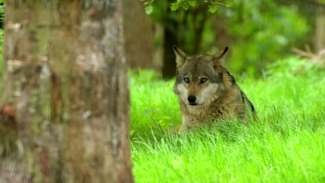 Wolf, Canis lupus, lying