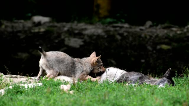 wolf, canis lupus, mother suckling cubs - group of animals stock videos & royalty-free footage