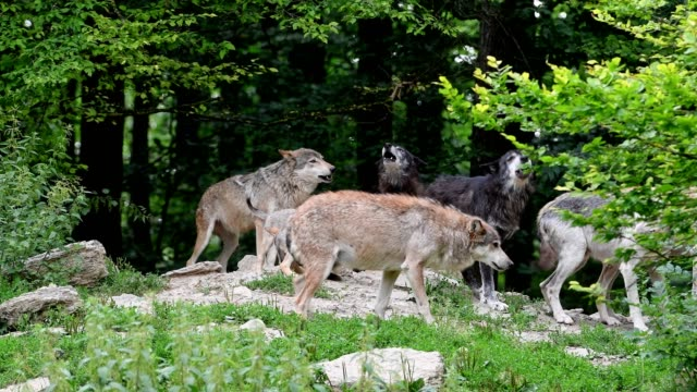 wolf, canis lupus, pack of wolves howl - medium group of animals stock videos & royalty-free footage