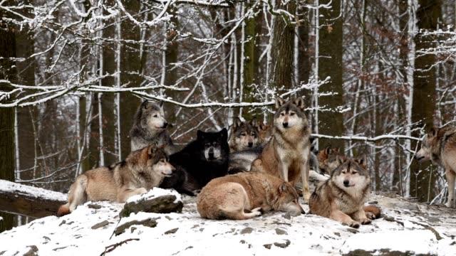 vídeos y material grabado en eventos de stock de wolf, canis lupus, pack of wolves in winter - grupo de animales