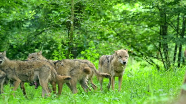 wolf, canis lupus, pack of wolves - wilde tiere stock-videos und b-roll-filmmaterial