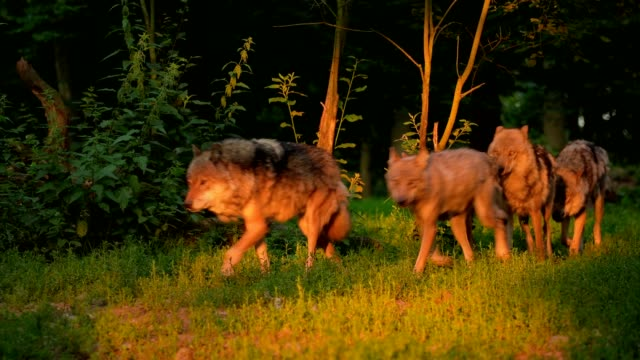 wolf, canis lupus, pack of wolves - herd stock videos & royalty-free footage