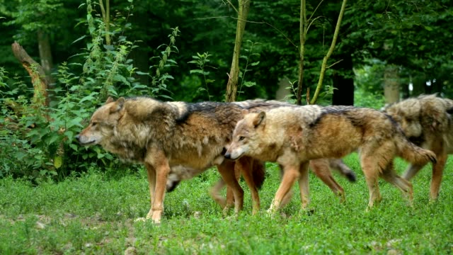 wolf, canis lupus, pack of wolves - wolf stock videos & royalty-free footage