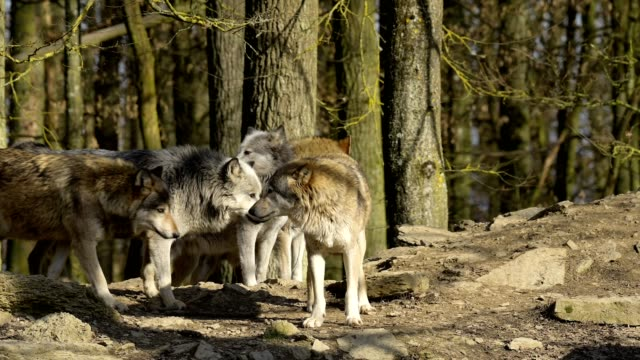 wolf, canis lupus, pack of wolves - tiergruppe stock-videos und b-roll-filmmaterial
