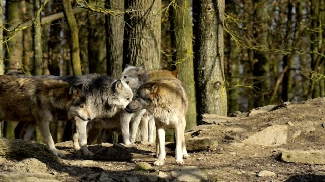 vídeos y material grabado en eventos de stock de wolf, canis lupus, pack of wolves - grupo de animales