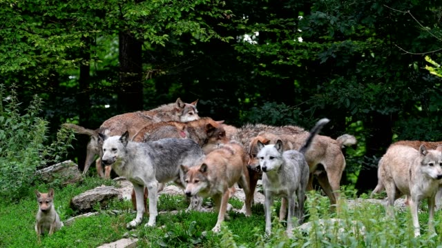 Wolf, Canis lupus, pack of wolves