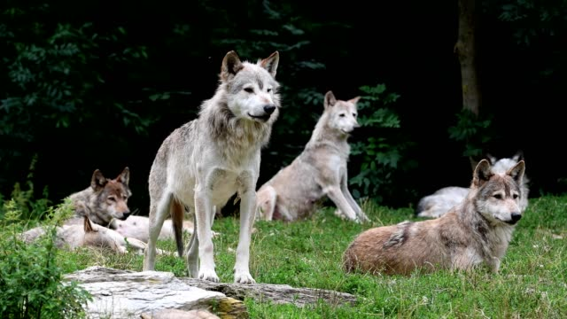 wolf, canis lupus, pack of wolves - group of animals stock videos & royalty-free footage