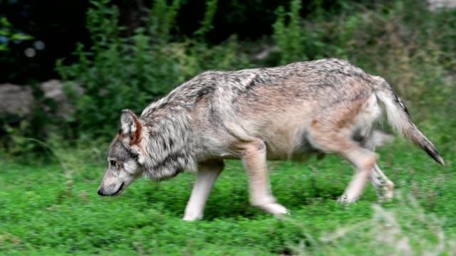 Wolf, Canis lupus, running