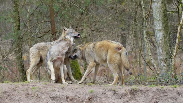 wolf, canis lupus, three wolves - three animals stock videos & royalty-free footage