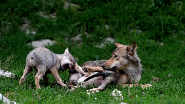 Wolf, Canis lupus, two cubs playing