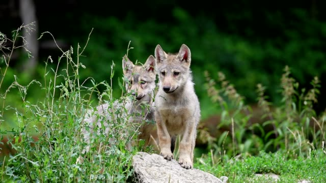 Wolf, Canis lupus, two cubs