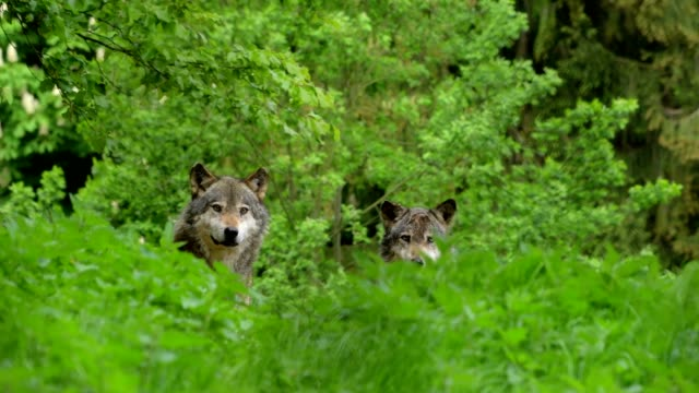 wolf, canis lupus, two wolves - herd stock videos & royalty-free footage