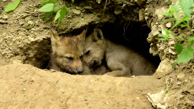 wolf, canis lupus, two young on cave - 洞窟点の映像素材/bロール