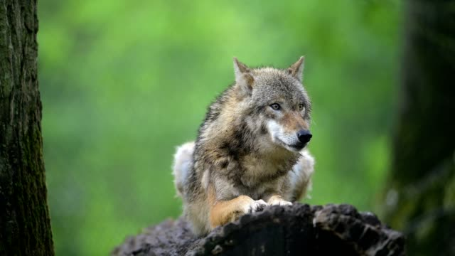 wolf, canis lupus - one animal stock videos & royalty-free footage