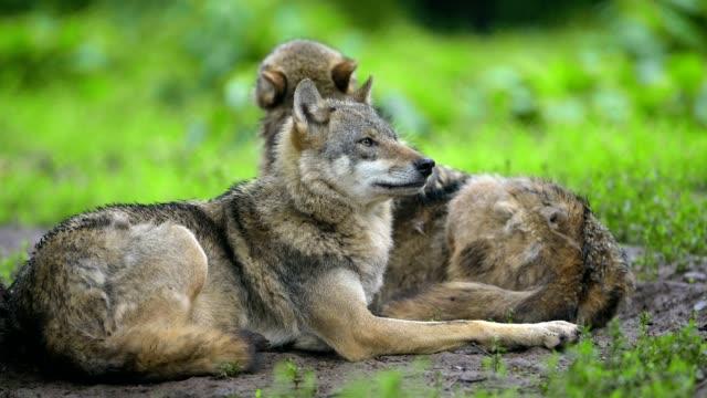 wolf, canis lupus - イヌ科点の映像素材/bロール
