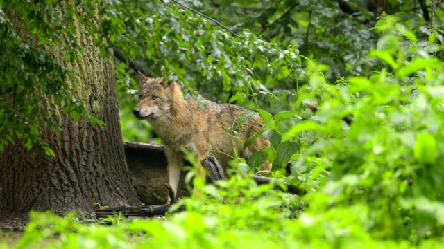 wolf, canis lupus - hundeartige stock-videos und b-roll-filmmaterial