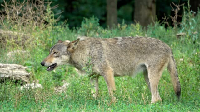 Wolf, Canis lupus