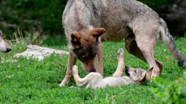 wolf, canis lupus, with cub - canine stock videos & royalty-free footage