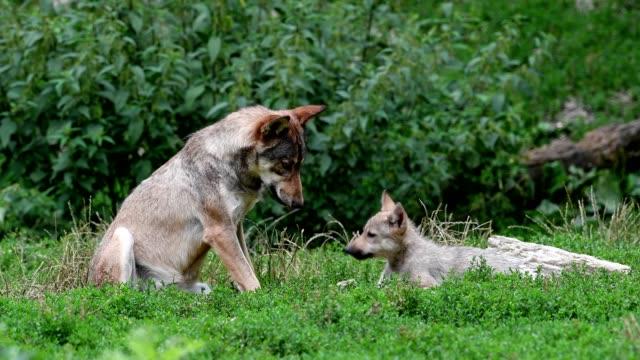 stockvideo's en b-roll-footage met wolf, canis lupus, with cub - meer dan 40 seconden