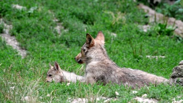 wolf, canis lupus, with cub - 肉食哺乳動物の子点の映像素材/bロール