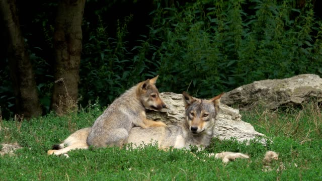 Wolf, Canis lupus, with cub