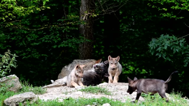 Wolf, Canis lupus, with cubs