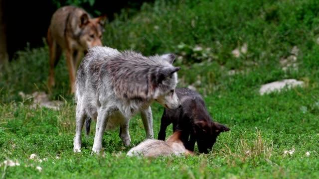 vídeos de stock, filmes e b-roll de wolf, canis lupus, with cubs - brigar