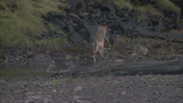 Wolf carries salmon carcass, British Columbia, Canada