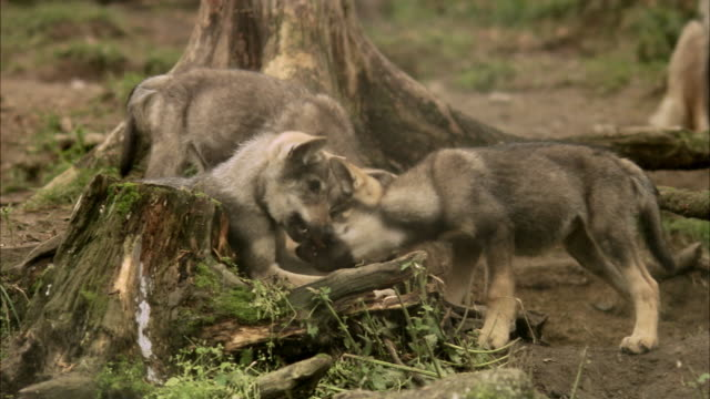 Wolf cubs at a zoo Sweden.