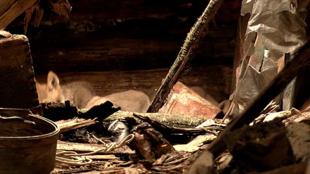 stockvideo's en b-roll-footage met wolf cubs - kernramp van tsjernobyl