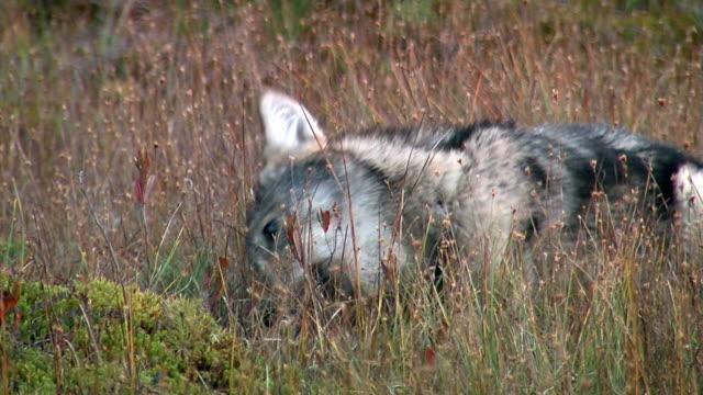 vídeos y material grabado en eventos de stock de lobo cubs - pata com garras