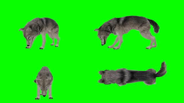 wolf essen green screen (loopable) - spezialeffekt stock-videos und b-roll-filmmaterial