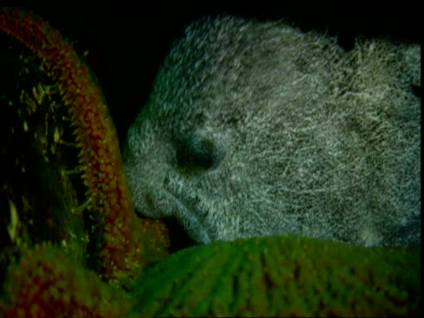A Wolf eel bites the tentacle of a sunflower seastar.