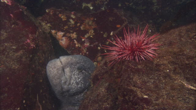 wolf eel (anarrhichthys ocellatus) feeds on sea urchin, vancouver island, bc, canada - ricci di mare video stock e b–roll