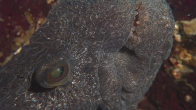 Wolf eel (Anarrhichthys ocellatus) gapes, Vancouver Island, BC, Canada