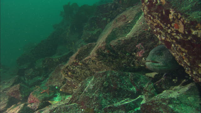 Wolf eel (Anarrhichthys ocellatus) leaves crevice, Vancouver Island, BC, Canada